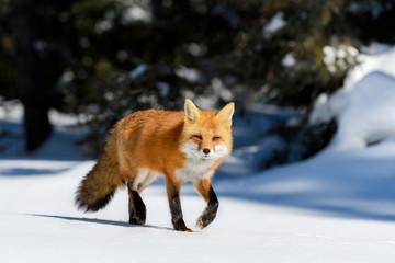 Red Fox Walking on Snow in Winter