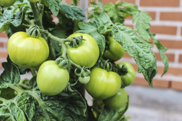 Green tomatoes growing on plant