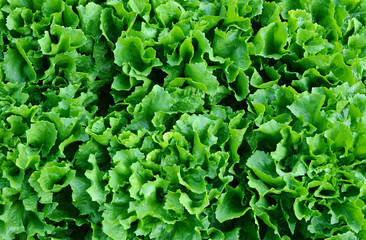 Romaine lettuce is one of the fastest growing vegetables. Romaine Lettuce Nutrition Health Benefits.
