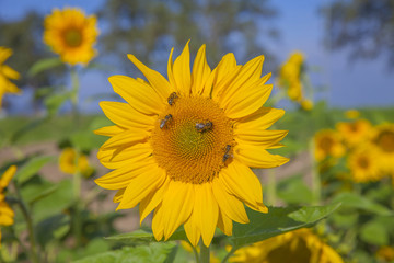 We can see many yellow sunflowers which are enjoying the sunshine and the heat. They is blossoming in the summer.A few bumblebees are on the flower.