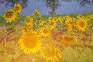 We can see yellow sunflowers which are enjoying the sunshine and the heat. It is blossoming in the summer. They look beautiful.