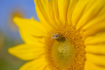 We can see a yellow sunflower which is enjoying the sunshine and the heat. It is blossoming in the summer. One bumblebee is walking on it.
