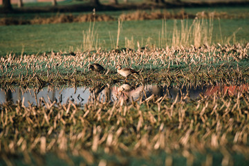 Two egyptian geese in farmland.