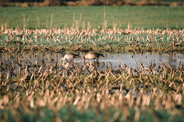 Two egyptian geese drinking from puddle in farmland.