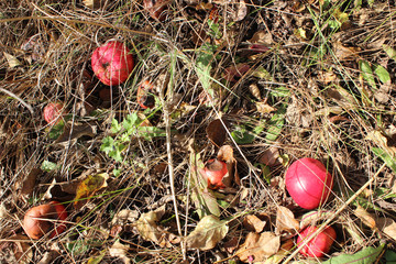 Red apples in grass