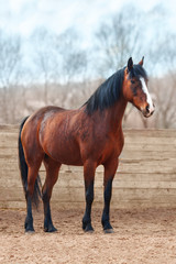 Wall Mural - Bay horse stands in the arena