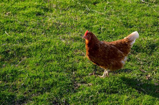 Hen in the field