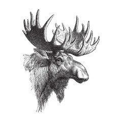 Moose or Eurasian elk (Alces alces) / vintage illustration