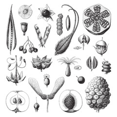 Collection of plant seeds / vintage illustration