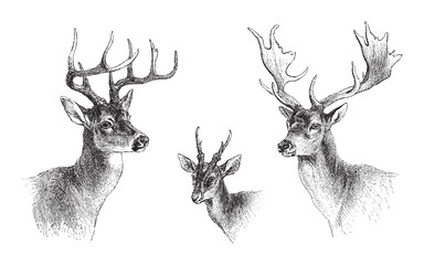 left Common or Virginian Deer (Cervus virginianus), middle Common muntjac (Cervulus Muntjac), right Fallow Deer (Dama vulgaris) / vintage illustration