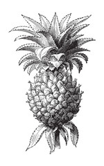 Pineapple (Ananas comosus) / vintage illustration