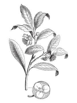 Tea plant - Camellia sinensis (Thea viridis) / vintage illustration
