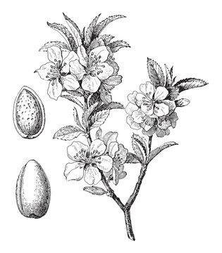 Almond (Prunus dulcis) / vintage illustration