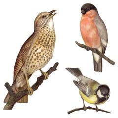 Bird collection - Redwing (Turdus iliacus), Bullfinch (Pyrrhula europaea), Great Tit (Parus major) / vintage illustration