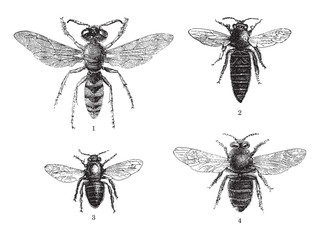 Bee collection - 1. European beewolf - 2. Queen - 3. Worker - 4. Drone / vintage illustration