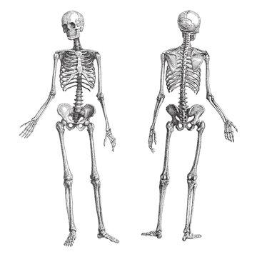 Human skeleton (male) - vintage illustration