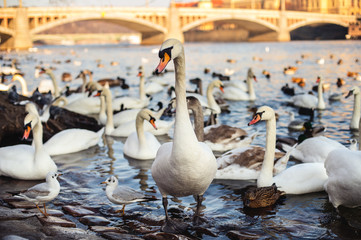 Gorgeous swans, seagulls and ducks in Vltava River in Prague with the view to the famous Charles Bridge in the background.