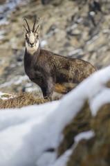 Chamois (Valsavarenche, Gran Paradiso National Park, Aosta valley, Italy)
