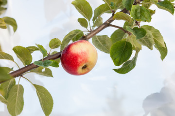 Apple on apple tree branch.