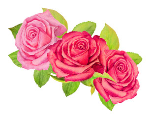 Three pink roses with green foliage on a white background - watercolor painting