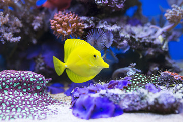 Yellow tang fish in aquarium