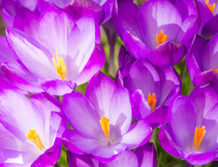 Foto op Aluminium Iris Purple crocus flower blossoms background