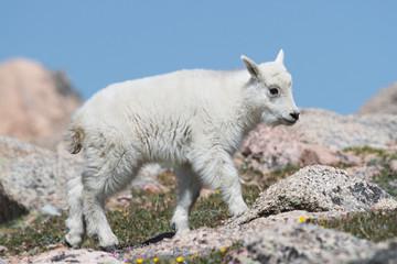 Mountains Goats of Colorado