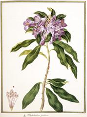 Rhododendron ponticum / Rhododendron pontique