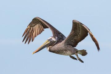 The Beautiful Brown Pelican