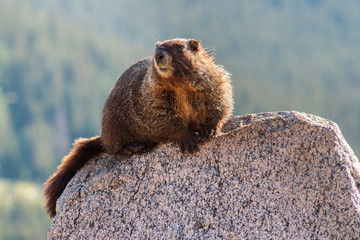 Marmot in the Rocky Mountains