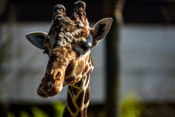 Giraffe eating in a zoo and making funny faces