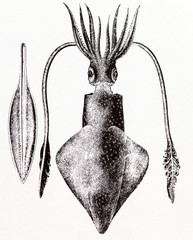 Common squid, Loligo vulgaris