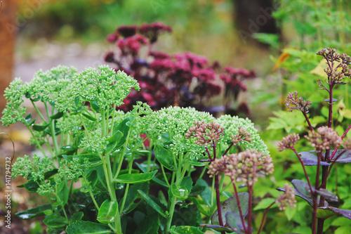 Various Hylotelephium spectabile (Sedum) planted together in summer ...