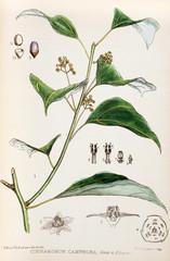 Illustration botanique / Cinnanomum camphora / Camphrier