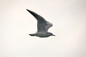 Flying One seagull