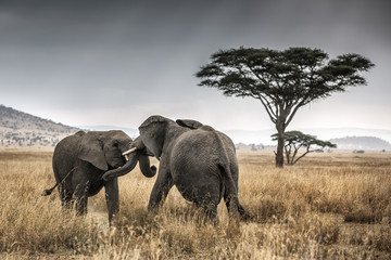 Two elephants fighting in Serengeti National Park