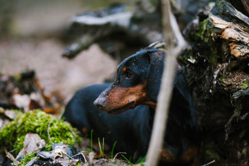 Dachshund in the forest