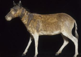 Fototapeta Equus quagga quagga / Couagga