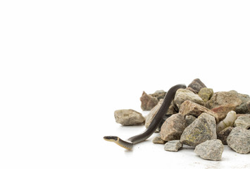 Small ringneck snake on rocks with copy space
