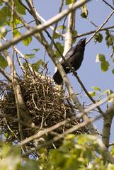 Corvus frugilegus / Corbeau freux