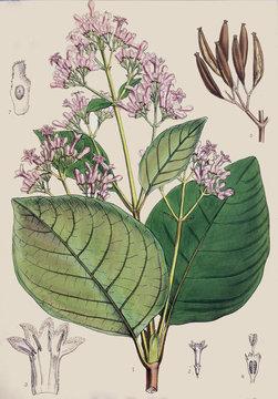 Illustration botanique / Cinchona succirubra / Quinquina rouge