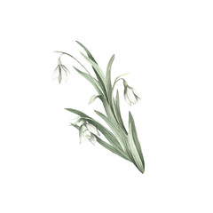 The image of a snowdrops.Hand draw watercolor illustration
