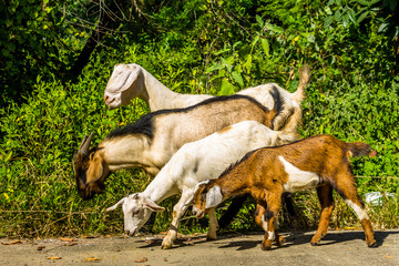 Goats in natural background