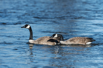 Pair of Canada Geese Swimming
