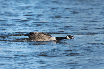 Canada Goose Swimming and Calling