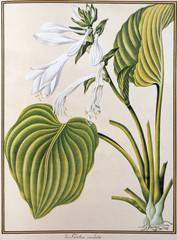 Illustration botanique / Funkia cordata / Hosta cordata