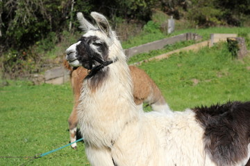 White and black llama