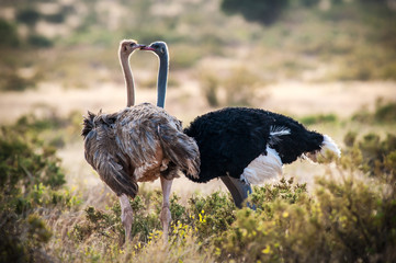 Samburu National Reserve. Kenya, Africa. Couple of Ostriches Somalis (Struthio molybdophanes).