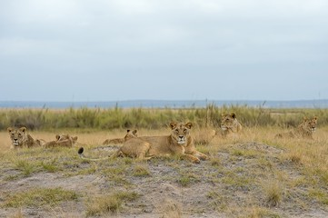 Amboseli Park,Kenya,Africa .A group of lions photographed in lard Amboseli