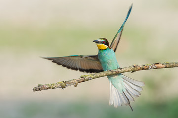 Canneto sull'Oglio, Mantova,Lombardy, Italy.The bee-eater (Merops Merops Linnaeus, 1758) is photographed while resting a branch